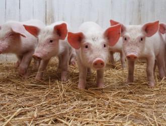 黑龙江省锁定牛羊猪三种肉食动物重大动物疫病强制免疫