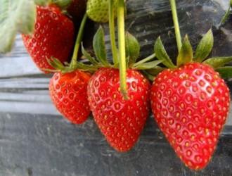 山东夏津反季节富硒草莓亩赚2万元
