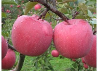 苹果  红富士 12个
